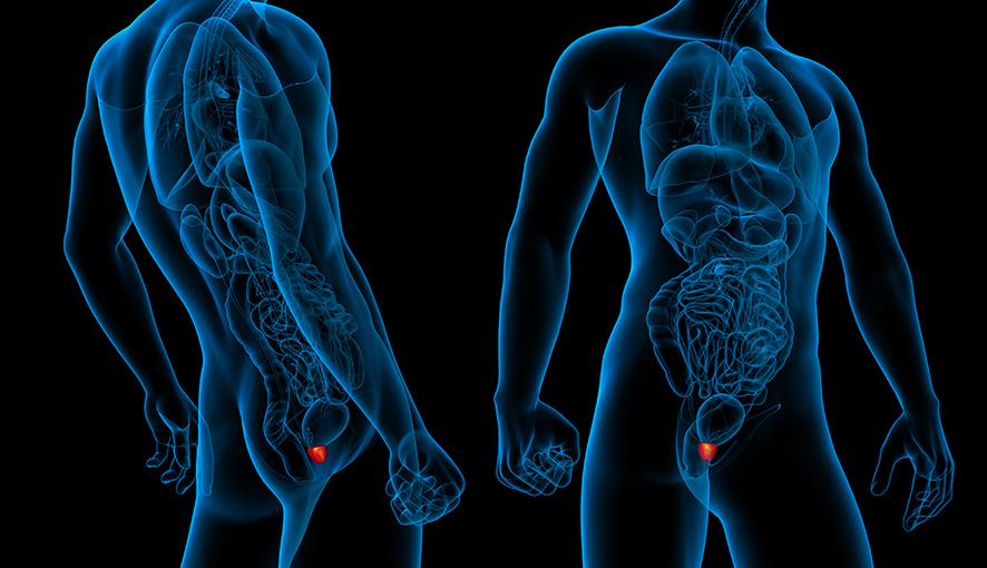 Изображение на простатата в мъжко тяло
